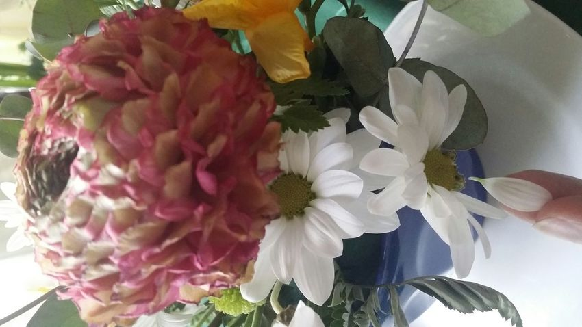 Loves Me, Loves Me Not Dry Tear White Flower Fragility Plant Human Body Part Close-up Pink Color Leaf Human Hand Not Fresh Day Flower Head Nature Table Indoors