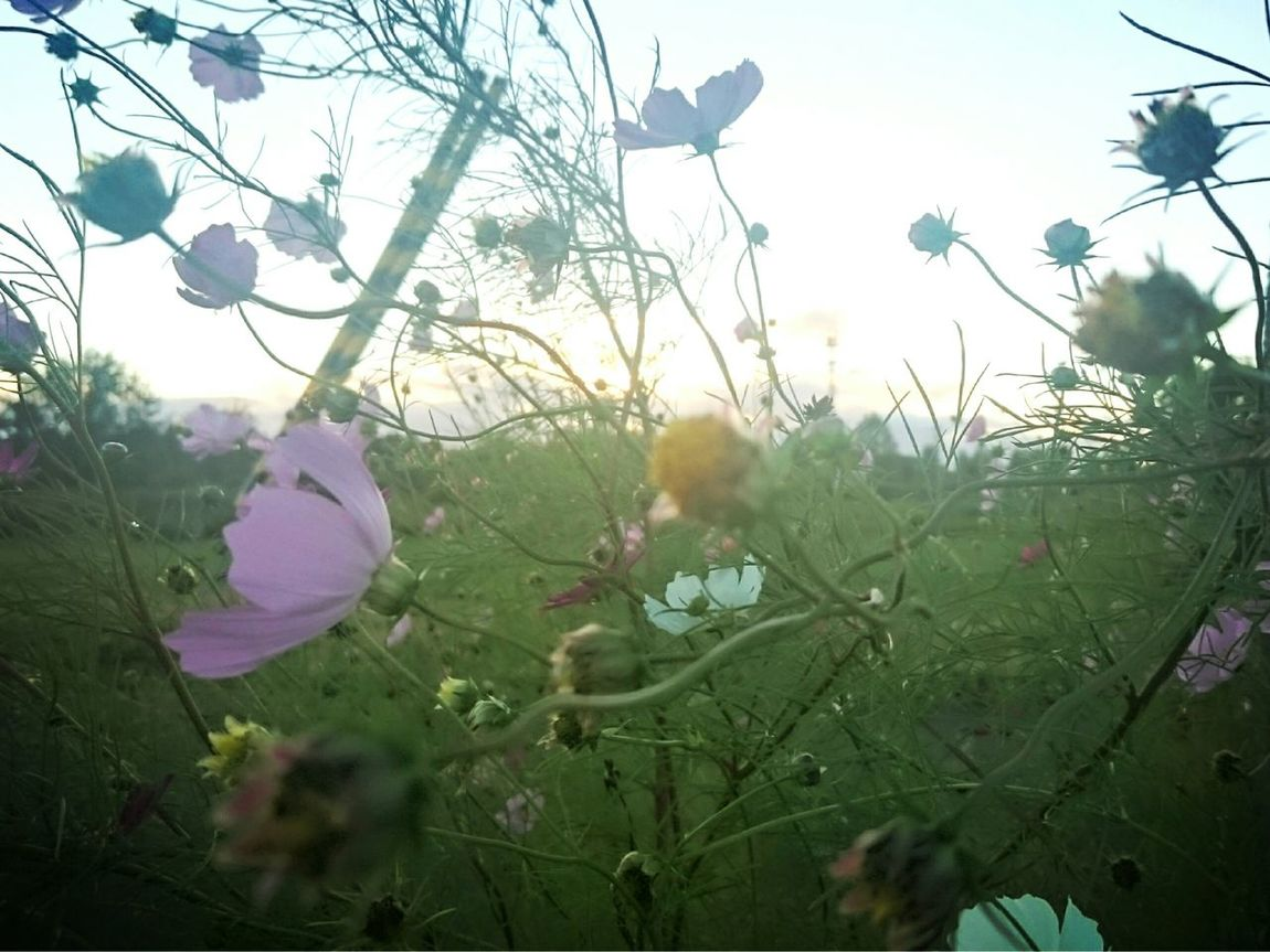 """おはようございます*˙︶˙*)ノ""""💕 今日もゆるりとよろしくです いつかのphoto 散歩道 秋桜"""