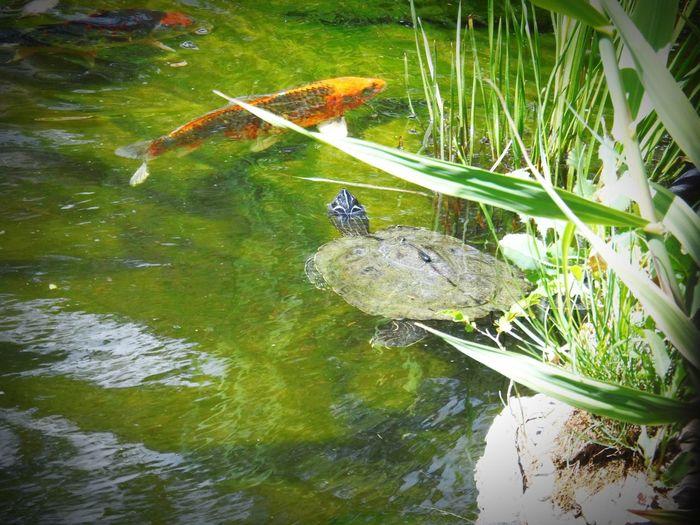 Pond Turtle 🐢 Backyard Ponds