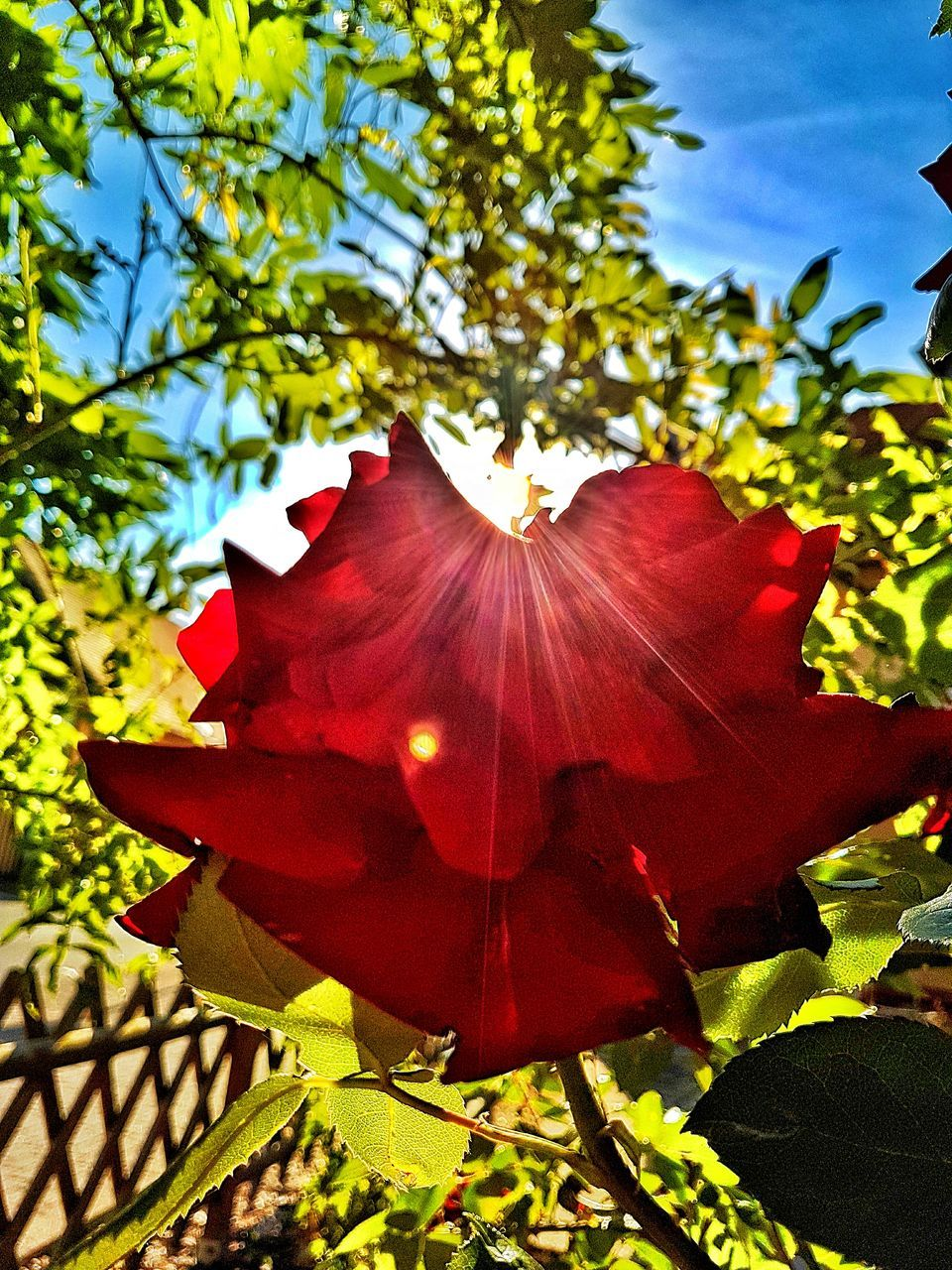 growth, red, beauty in nature, nature, flower, leaf, fragility, petal, plant, outdoors, day, freshness, no people, close-up, flower head, sunlight, tree, branch, maple leaf, hibiscus, blooming, sky
