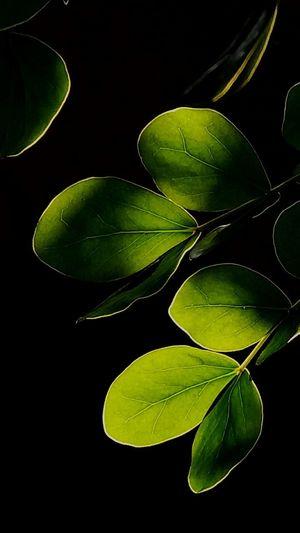 Green Color Black Background Leaf Freshness Healthy Eating Vegetable Nature