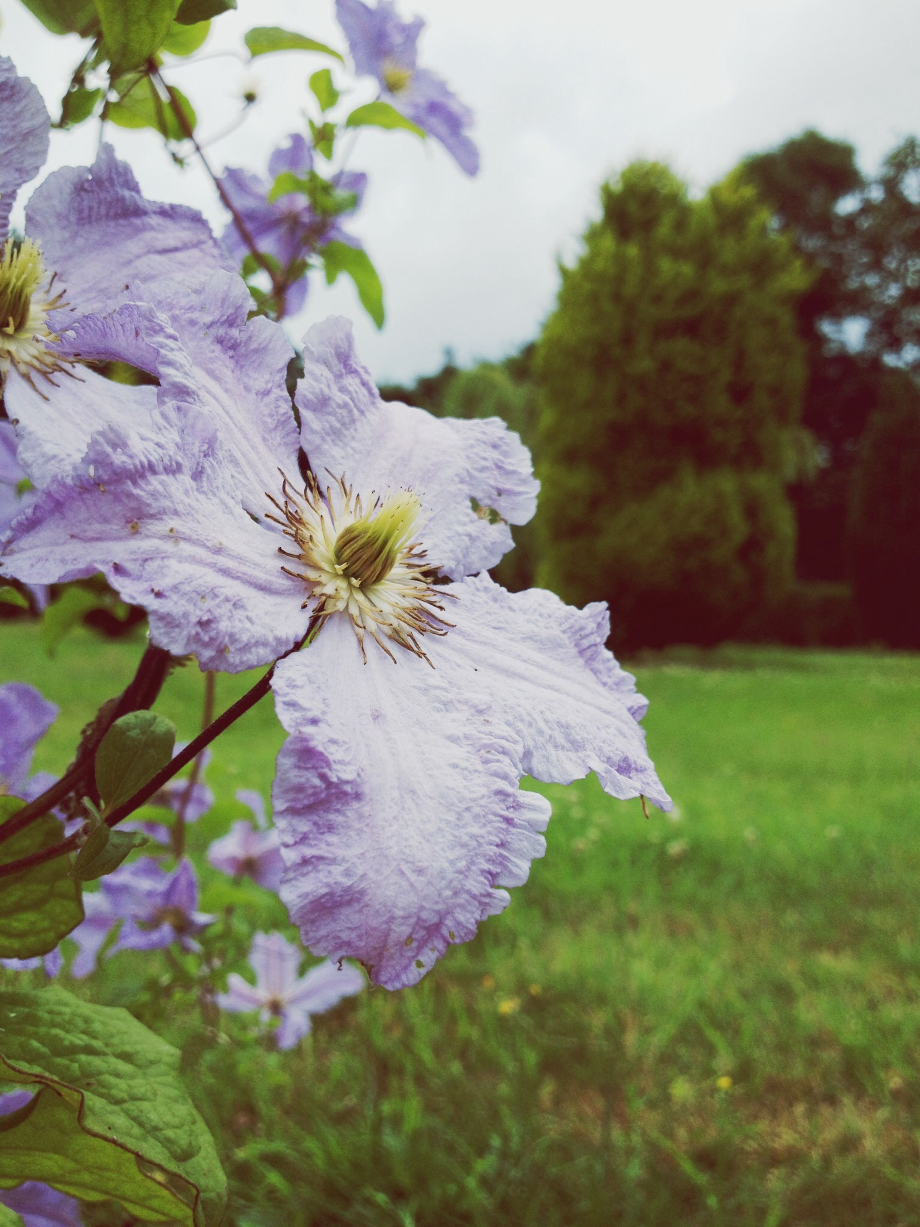 flower, freshness, fragility, growth, petal, beauty in nature, flower head, focus on foreground, close-up, nature, blooming, in bloom, blossom, purple, tree, plant, park - man made space, day, springtime, field