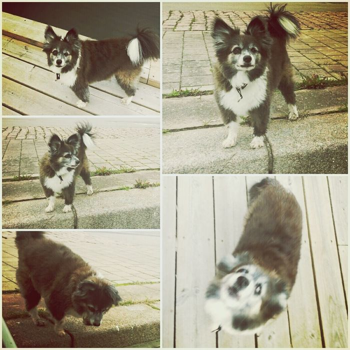I Love My Dog My Dogs Are Cooler Than Your Kids Lundehund/papillon