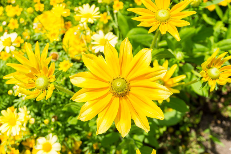 Close-up of Yellow Flowers in Summer. Golden Daisy Bush Asteraceae Beauty Blooming Close-up Closeup Colors Euryops Chrysanthemoides Flowering Flowers Focus Freshness Garden Golden Daisy Bush Green Growing Happy Meadow Nature Orange Plants Season  Summer Summertime Sunlight Yellow