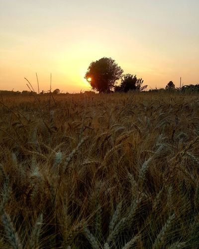 Sunset Agriculture Nature Growth Field Outdoors Sky Tree No People Tranquility Landscape Beauty In Nature Scenics Rural Scene Animals In The Wild Clear Sky Day Animal Themes Photography Weather Pro: Your Perfect Weather Shot  First Eyeem Photo