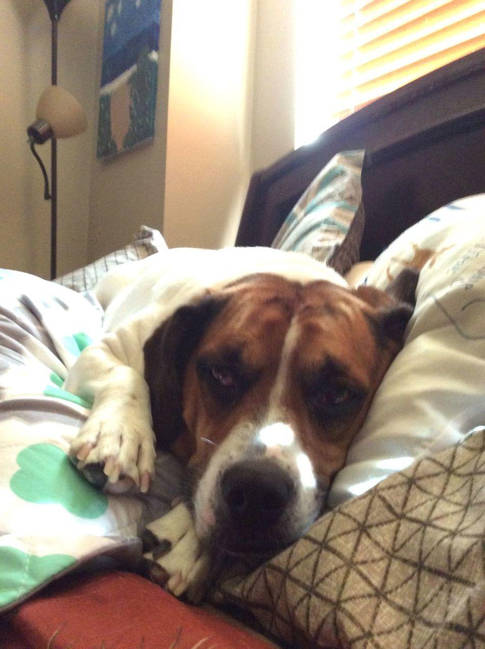 Beabulls Sammythebeabull Sammythebeabullonfacebook Sammy♡ Petstagram Petsofeyeem Dog❤ Dogs Of EyeEm When Boredom Strikes. LongIslandNY