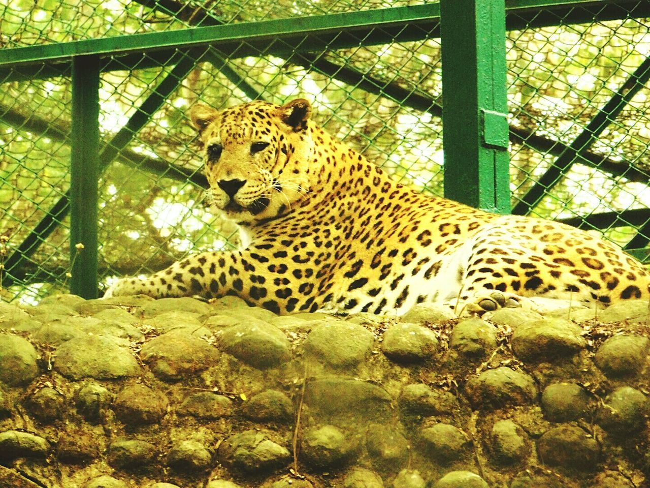 Leopard One Animal Animals In The Wild Looking For Freedom Caged Sadness😢 Looking At Camera Wildlife Photography