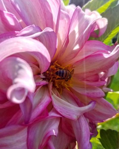 Insect Flower Animals In The Wild Animal Themes One Animal Nature Animal Wildlife Bee Honey Bee Petal No People Pink Color Plant Outdoors Beauty In Nature Day Close-up Pollination Flower Head Fragility