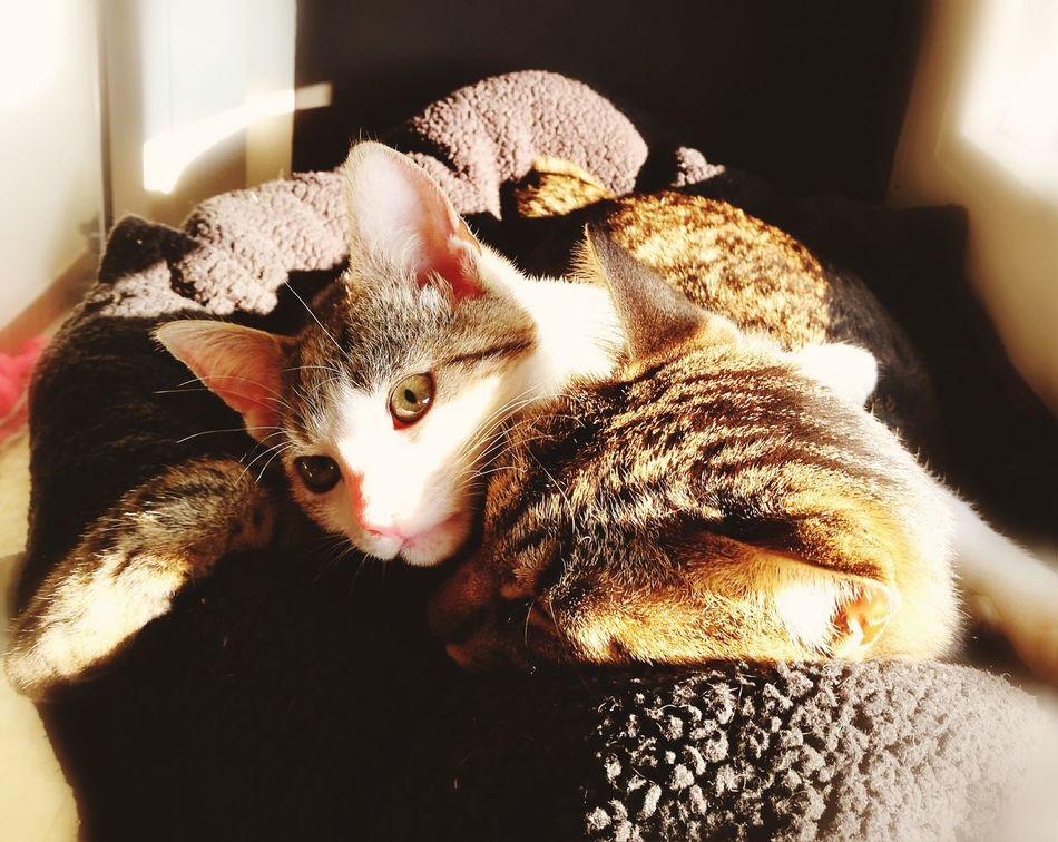 Cats Of EyeEm Pets Domestic Cat Animal Themes Cute Indoors  SnuggleBuddies Domestic Animals