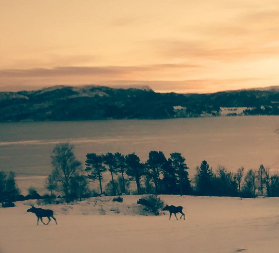 Winter Moose Elg by the Roadside in Norway . Trafic Safety