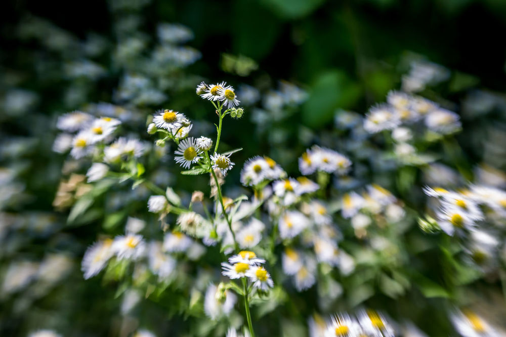 Artistic movement, depth of field photos. Artistic Photography Aster Bokeh Bokeheffect Daisy Depth Of Field Dof Dof Nature Flower Focal Point Howard Roberts Idyllic Scenery Lensbaby  Lensbaby Photograph Mood Motion Blur Movement Nature Nature Photography Pennsylvania Petals Selective Focus Tiltshift White Wild Flowers
