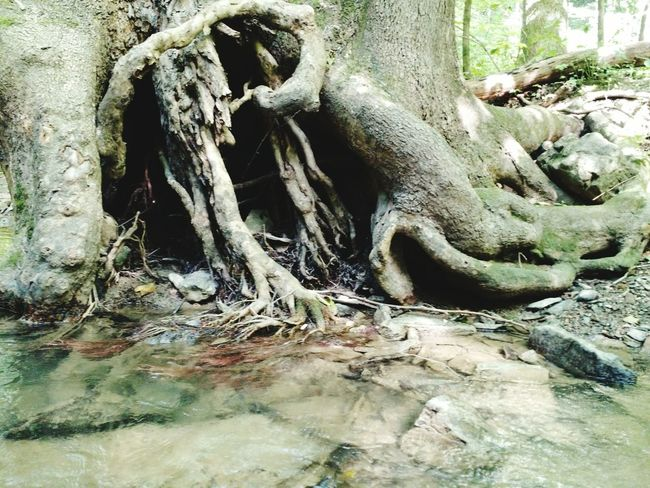 Am i the only that sees a dino in this Tree Roots  Creek