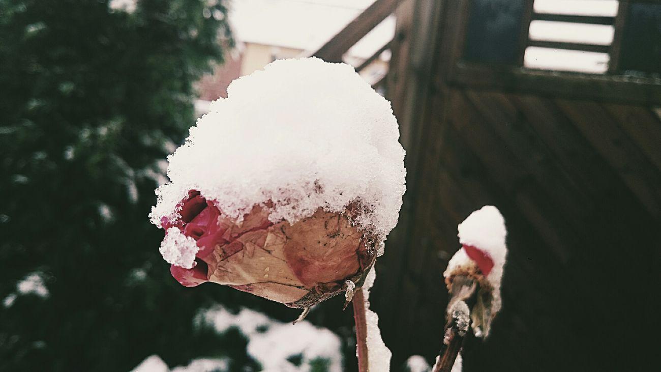 Snowflower Flowercloseup Snow ❄ Nature Winter Wonderland Wintertime