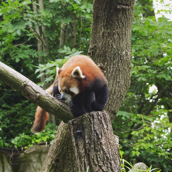 Red Panda @ Artis Zoo Amsterdam Artis  Amsterdam Zoo Red Panda