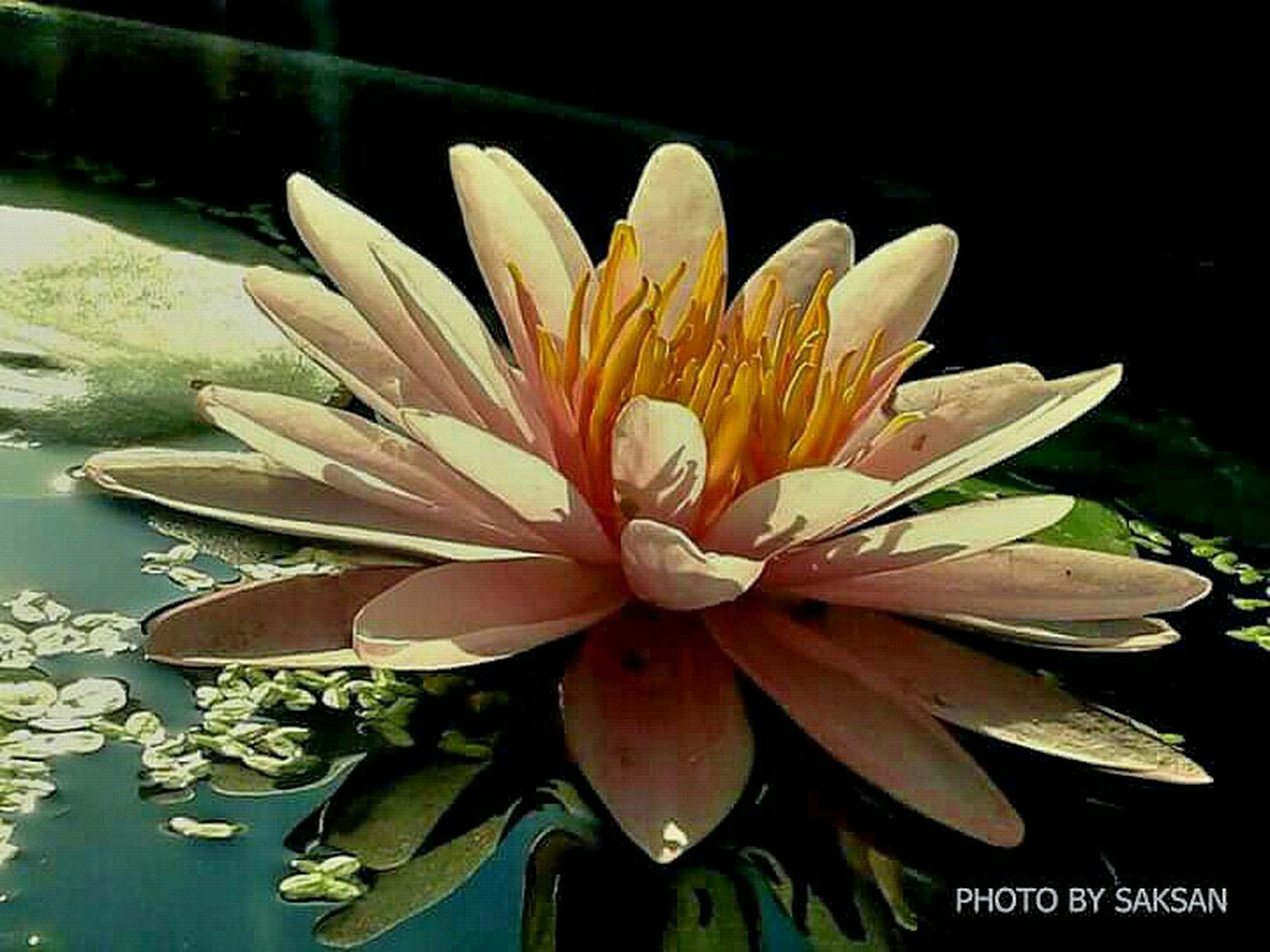 flower, petal, flower head, freshness, fragility, water lily, single flower, water, beauty in nature, pond, close-up, growth, nature, pollen, blooming, lotus water lily, plant, yellow, leaf, stamen