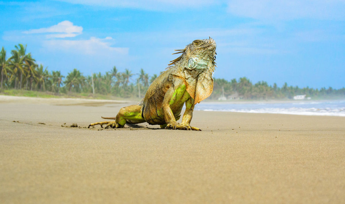 Animal Themes Animal Wildlife Animals In The Wild Beach Beauty In Nature Close-up Day Iguana Iguana Nature No People One Animal Outdoors Reptile Sand Sea Sky Water