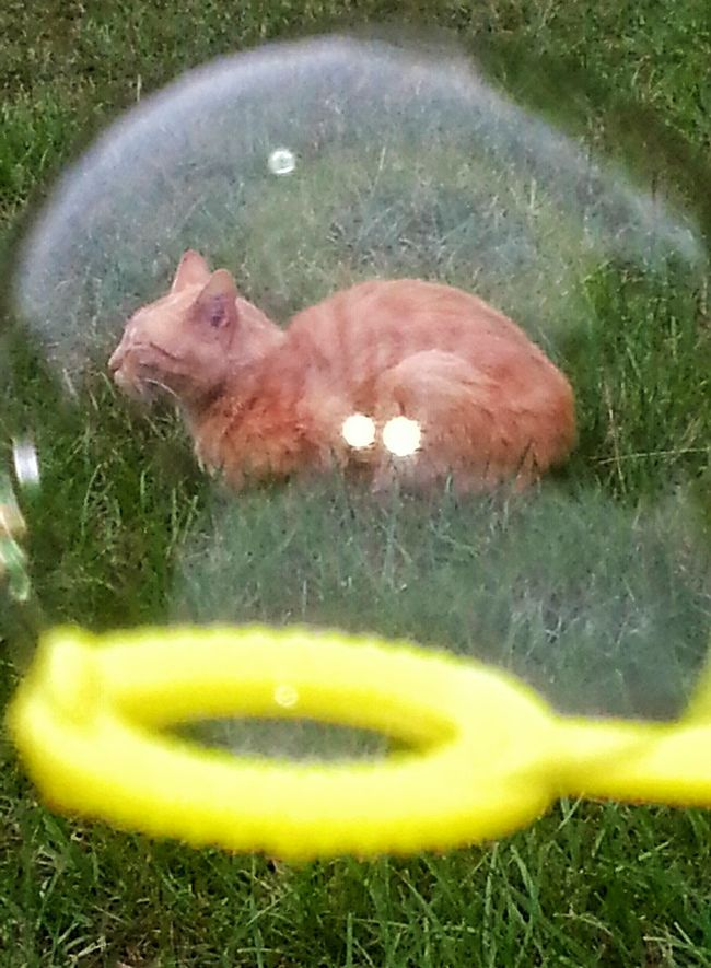 Cat Photography Orange Tabby Cat Cat In A Bubble Blowing Bubbles Bubble Shapes And Forms Outdoor Photography Cats Of EyeEm Cats Green Grass Cat Sleeping Cat Lovers Animal Lovers Cat Napping Yellow Bubble Wand Enjoying The Warm Sun The Essence Of Summer Natural Light Photo