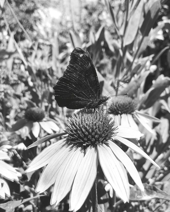 Flower Petal Nature Insect Beauty In Nature Coneflower Eastern Purple Coneflower Butterfly Butterfly - Insect Butterfly Black And White Photography Blackandwhite Black And White Ukraine Yahotyn