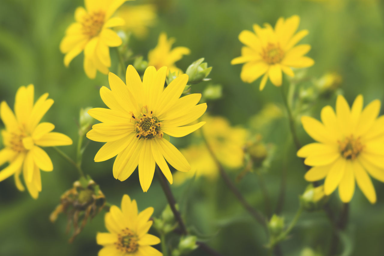 flower, yellow, beauty in nature, nature, growth, petal, fragility, plant, flower head, freshness, blooming, no people, outdoors, cosmos flower, day, close-up