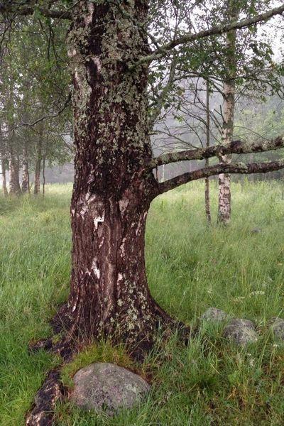 Magical Trees Nordingrå