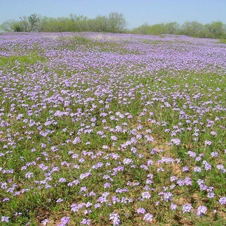 Phlox Field