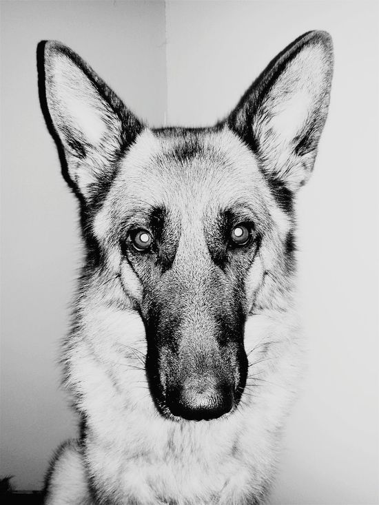 Dog Germanshepherd Friend Portrait Love Photography Photo Monochrome Taking Photos Check This Out German Shepherd 🐺❤
