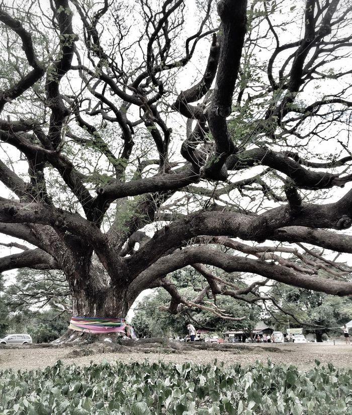 Trees Tree Bigtree Gianttree Thailand Unseenthailand Unseen Amazingthailand Spotted In Thailand