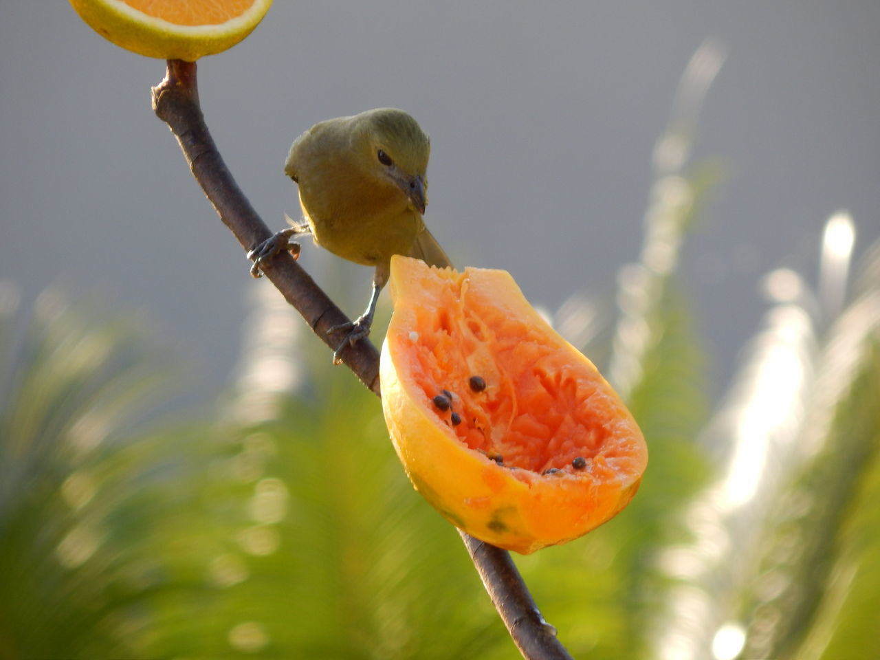 focus on foreground, fruit, close-up, bird, no people, nature, animals in the wild, outdoors, day, perching, animal themes, beauty in nature, food, freshness