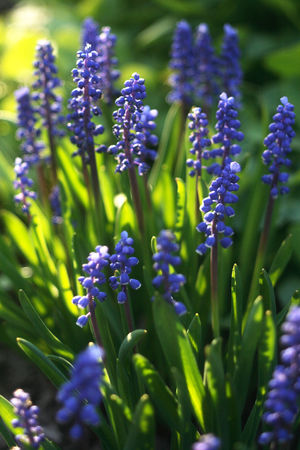 Muscari, commonly and collectively known as grape hyacinths, Beauty In Nature Blooming Close-up Day Flower Flower Head Fragility Freshness Grape Hyacinths Green Color Growth Hyacinth Muscari Nature No People Outdoors Plant Purple