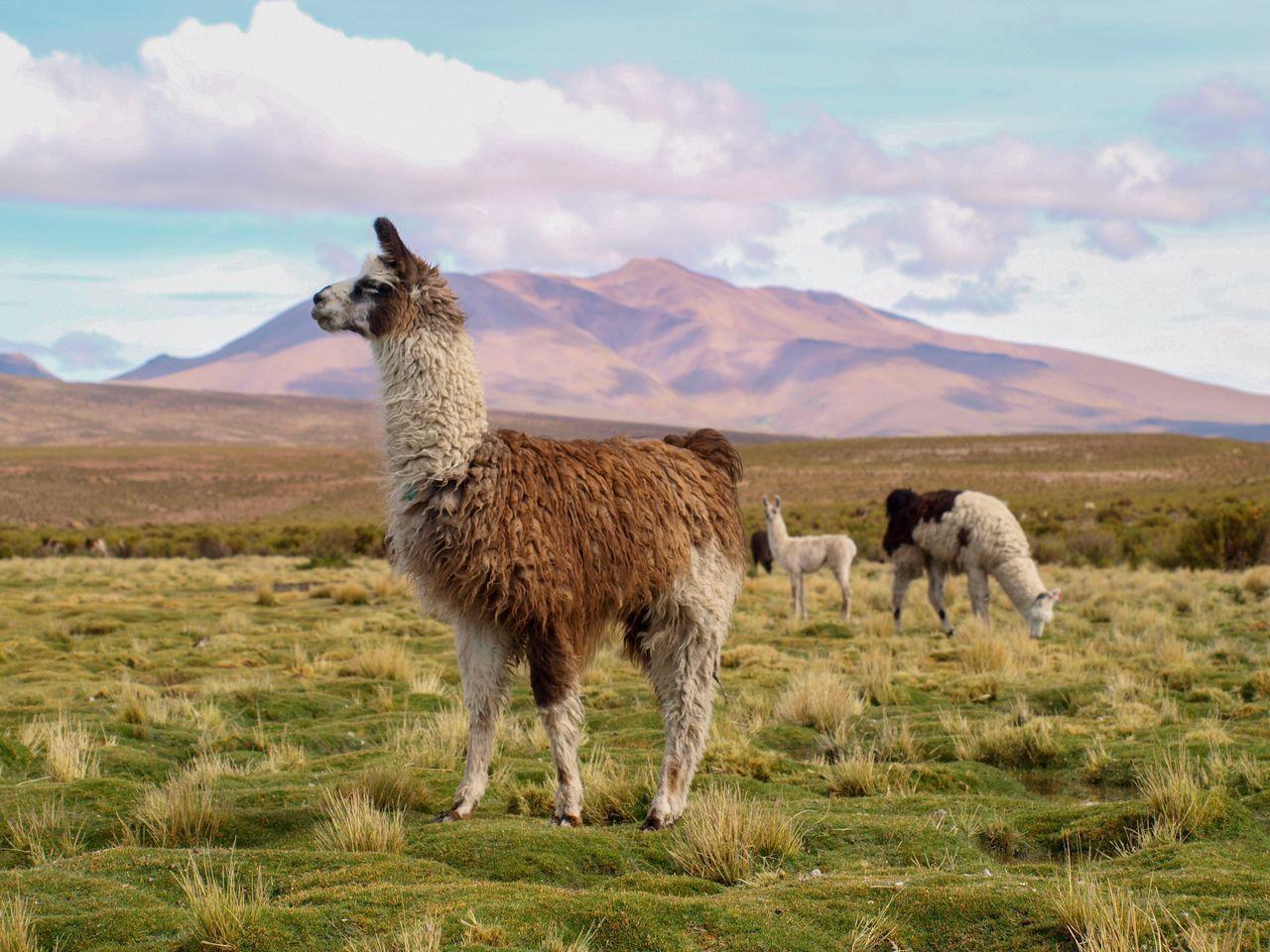 Beautiful stock photos of amerika,  Adult Animal,  Alertness,  Alpaca,  Animal Hair