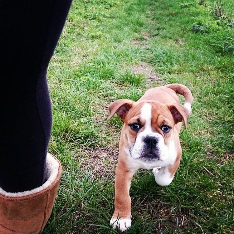 Bulldogsofinstgram Bulldog Puppyday Iwantone