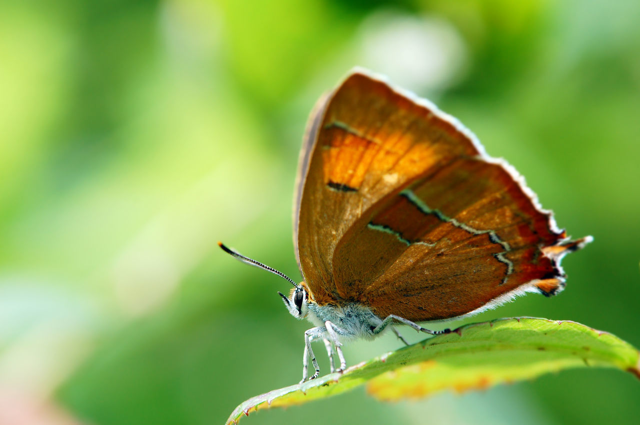 brown hairstreak (Thecla betulae) butterfly. Macro Photography Thecla Betulae Animal Themes Animal Wildlife Animals In The Wild Brown Hairstreak Butterfly Butterfly - Insect Butterfly Collection Butterfly Macro Close-up Insect Nature One Animal Outdoors Wildlife