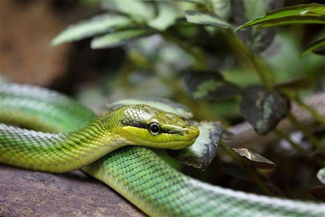 Natter Snake Green Animals Anmial Open Edit AMPt_community Tadaa Community EyeEm Best Shots Animal Reptile Showcase July