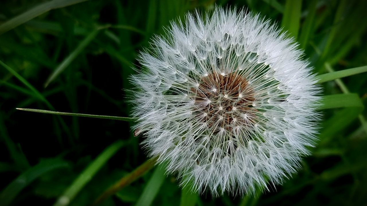 Flower Nature Fragility Plant Flower Head Close-up No People Beauty In Nature Outdoors Day Closing Growth Freshness Dandelions Dandelion Close-up Dandelion Collection The Great Outdoors - 2017 EyeEm Awards