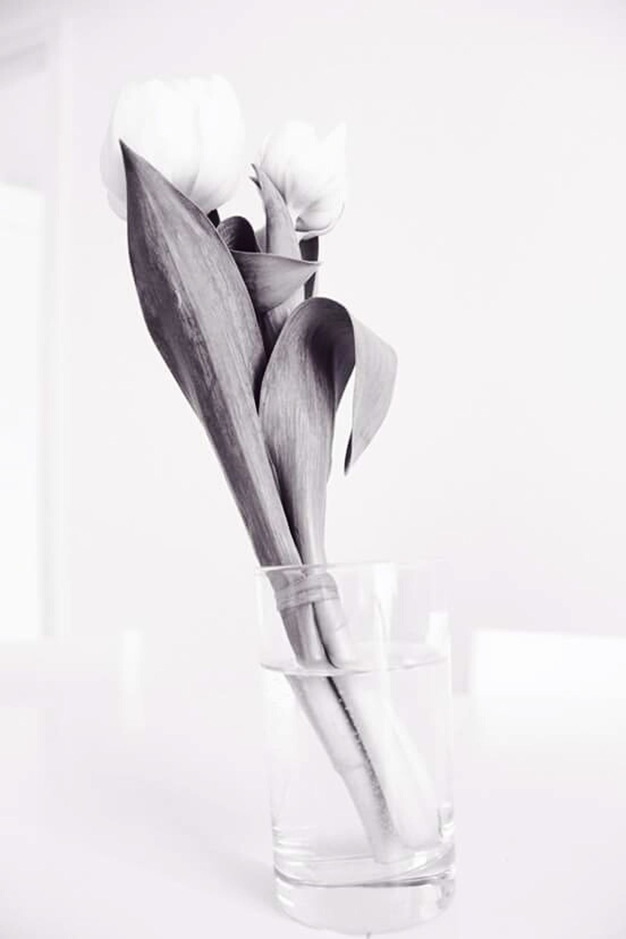 Monochrome Tulip Vase Deceptively Simple Flower Showing Imperfection überbelichtet