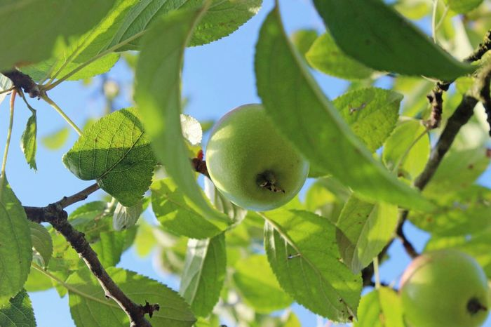 A appletree 🌳🍏 Nature Naturelovers Nature Photography Apple Apple Tree Fruit Fruits Sunshine Sun Green Green Nature Leaf Leaves Lightful Plant Food Freshness Green Color Outdoors Healthy Eating Health Healthy Lifestyle Garden Garden Photography Garden Time