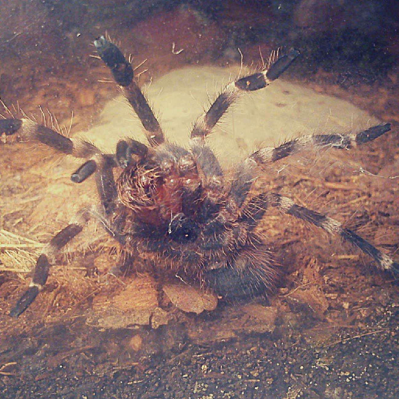 Hello my friends :) Acanthoscurria Geniculata Female Cute ^^ beautiful Loveher