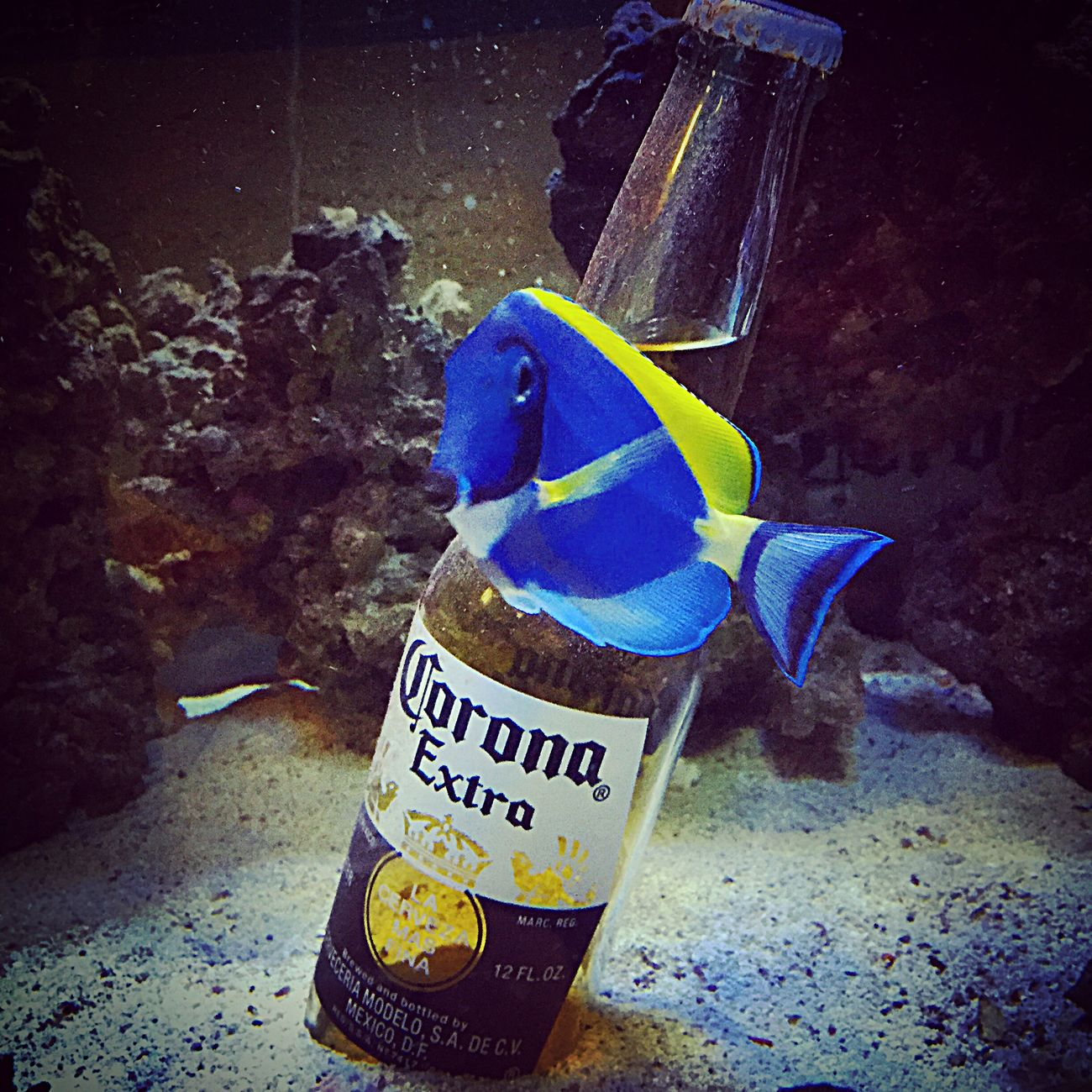 Blue Fish Little Blue Fishes Swimming Cerveza Beer Corona Fish
