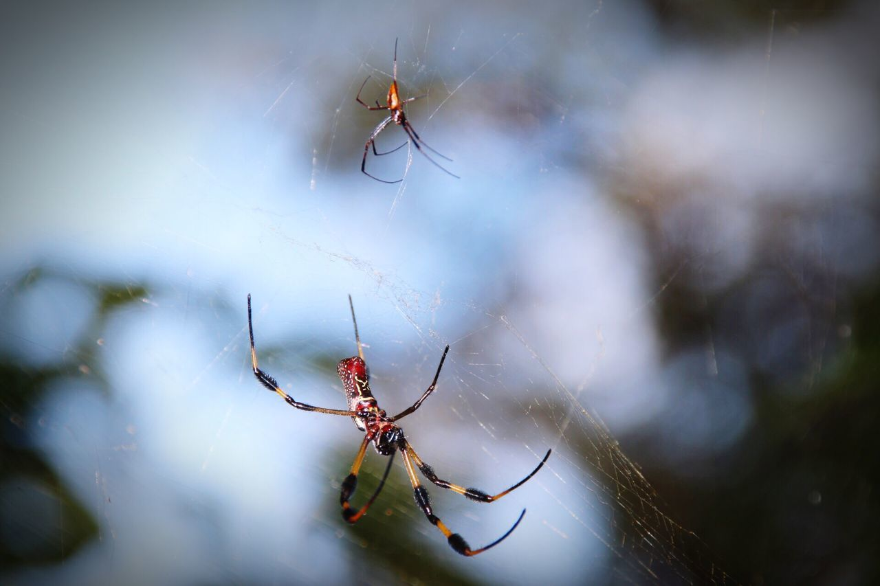 Spider Web Animal Themes Spider Insect One Animal Animals In The Wild Focus On Foreground Nature Close-up No People Animal Wildlife Web Fragility Day Animal Leg Survival Outdoors Beauty In Nature