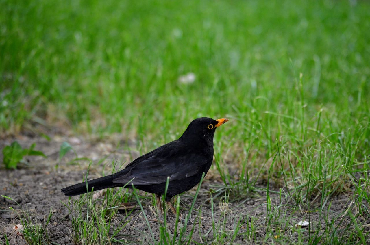 Animal Themes Animal Wildlife Animals In The Wild Bird Blackbird Close-up Day Grass Nature No People One Animal Outdoors Perching