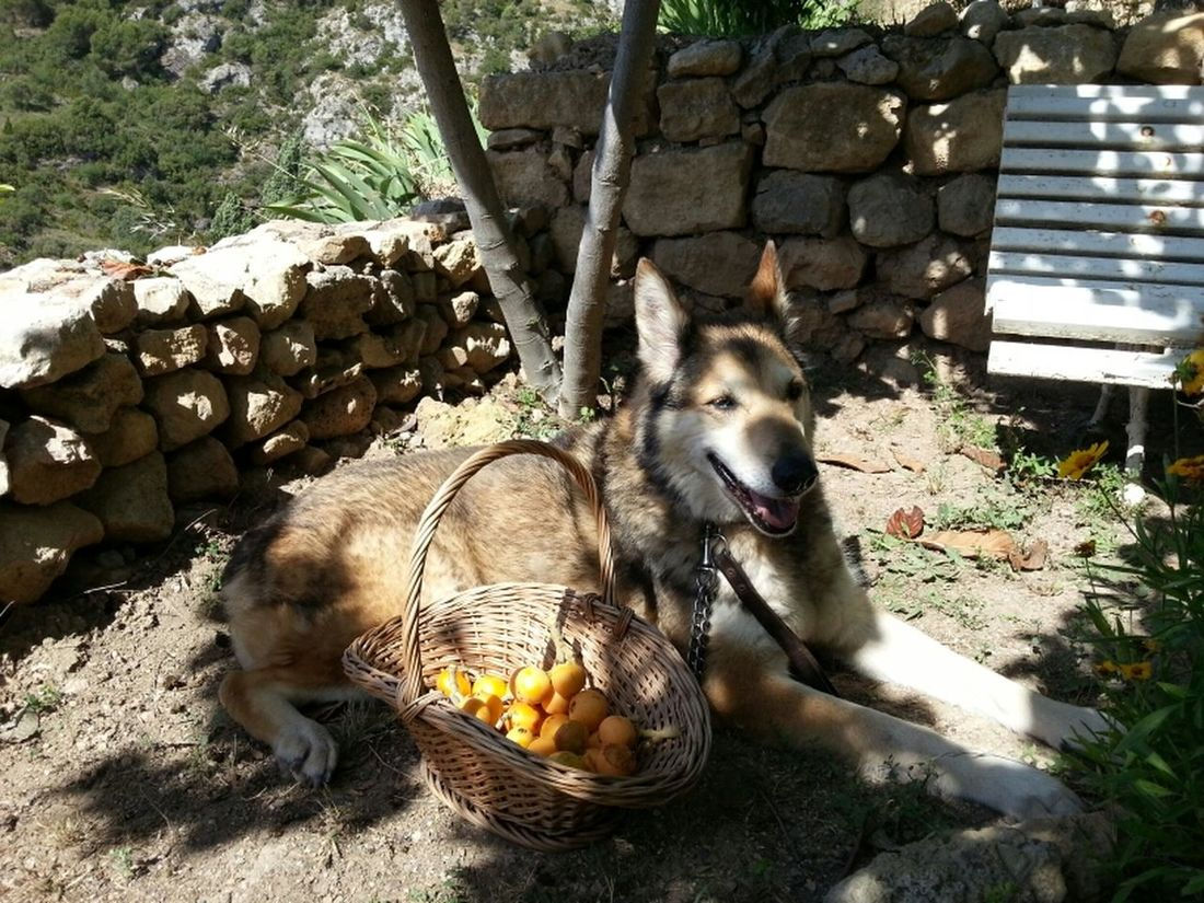 collint nespres molt ben acompanyat / harvesting persimmons in very good company #leia