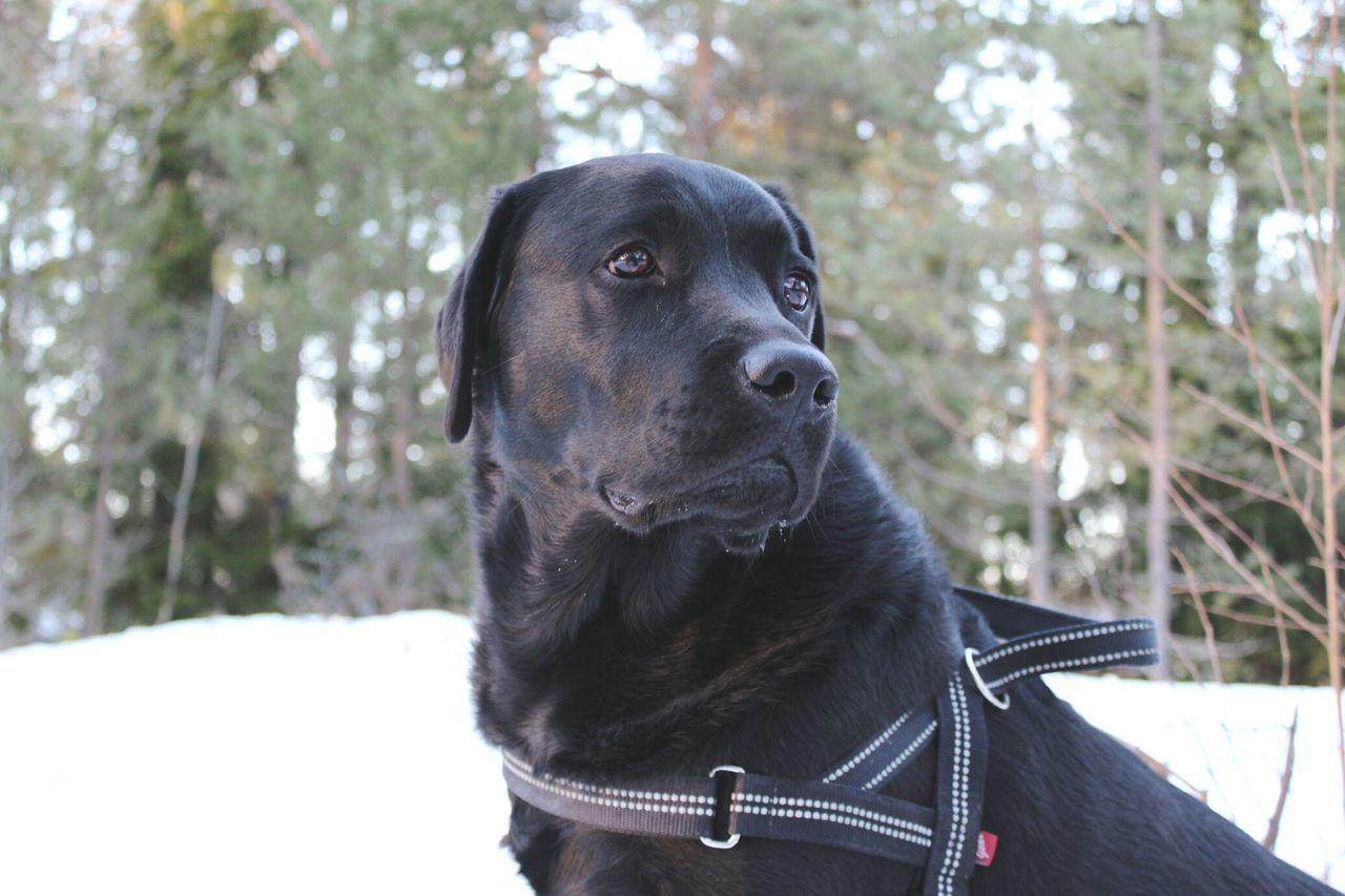 Winter Skog Vovve Forest Portrait Dog Pets Outdoors Labrador Labrador Retriever Black Labrador Blacklab Dogs Animal 강아지 Hund 개