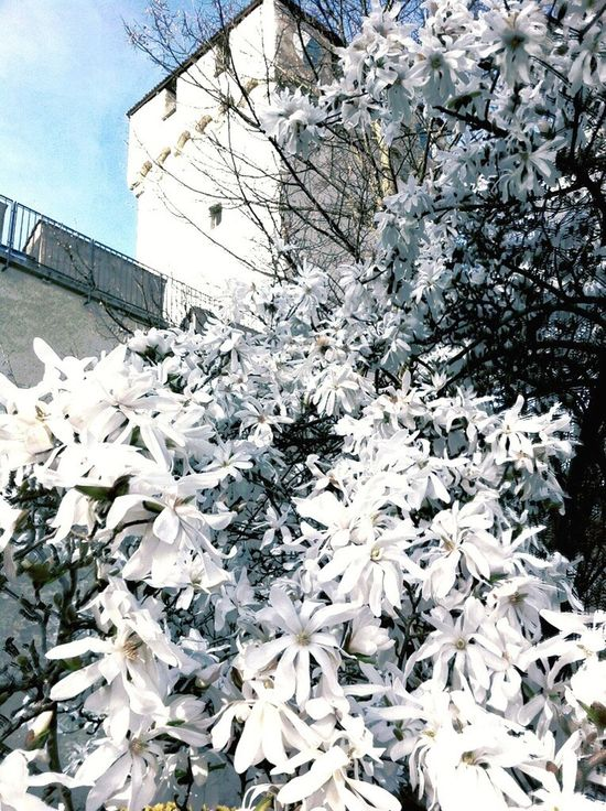 Flowertree White Flowers Lausanne
