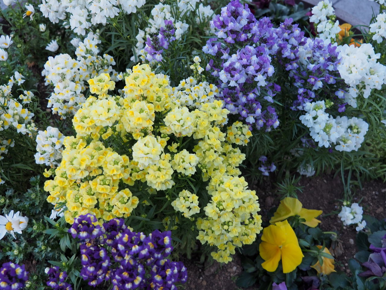 flower, fragility, freshness, growth, yellow, nature, beauty in nature, no people, petal, purple, outdoors, flower head, plant, multi colored, day, blooming, close-up
