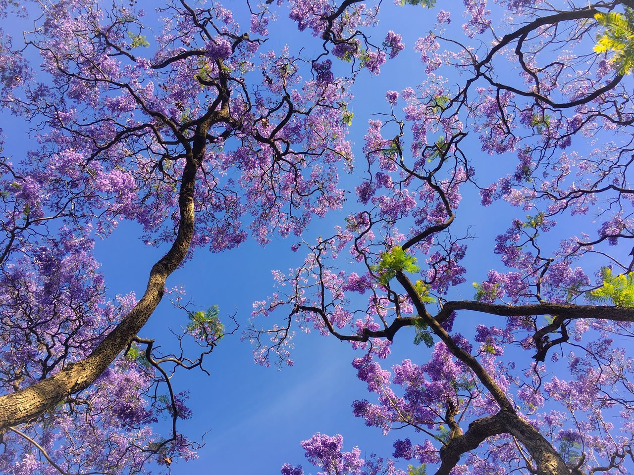 Pink Flowers Trees And Sky Tree Branches Blue Sky Tree Low Angle View Branch Growth Nature Sky Beauty In Nature No People Outdoors Flower Springtime Blossom Clear Sky Day Freshness Fragility
