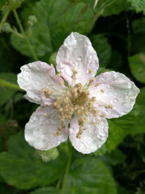 Raindrops On Flowers Rain Drops Flowers Blackberry Flower Raindrops Raindrops On Blackberry Flowers