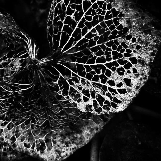 紫陽花 紫陽花-hydrangea- 紫陽花Photo あじさい あじさい 素枯れ紫陽花 レースフラワー モノクロ モノクロ写真 モノクローム Monochrome