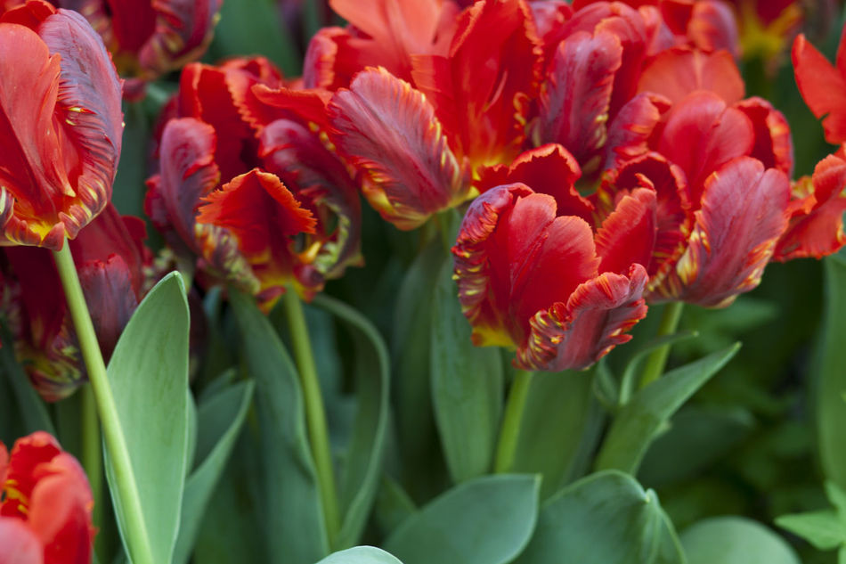Beautiful stock photos of tulip, Cultivated, beauty In Nature, bloom, blooming