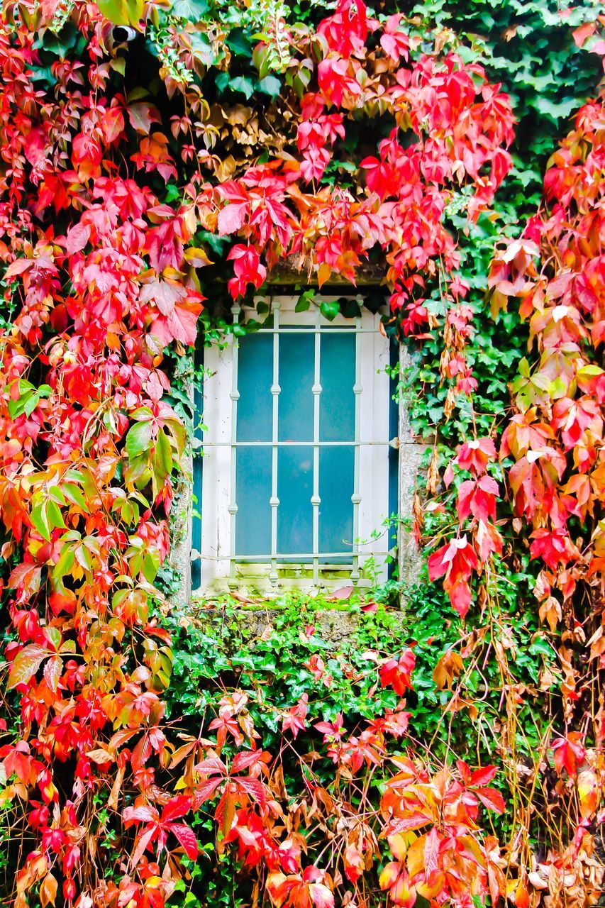 autumn, leaf, nature, plant, growth, window, flower, change, ivy, no people, architecture, day, creeper, beauty in nature, built structure, building exterior, outdoors, fragility, blooming, tree, close-up, freshness
