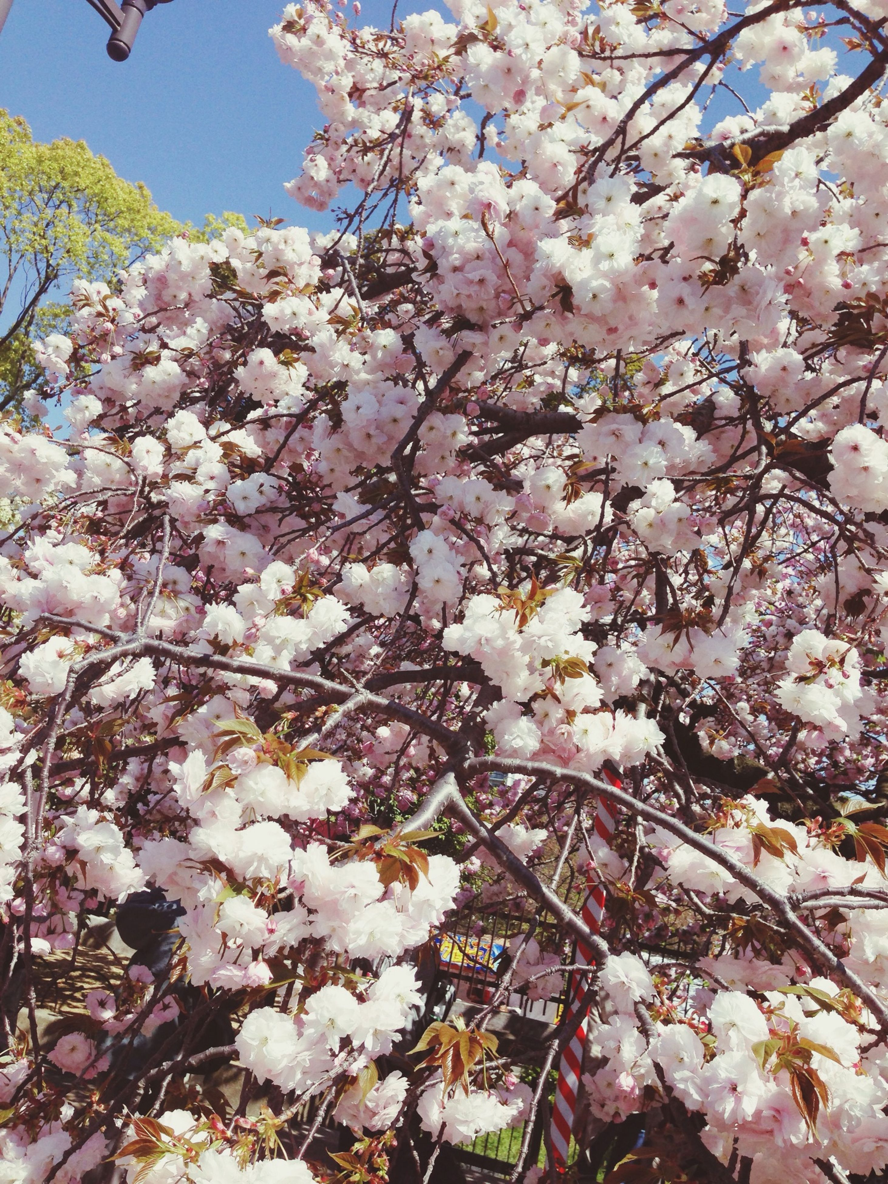 flower, freshness, tree, branch, cherry blossom, blossom, fragility, cherry tree, growth, beauty in nature, pink color, nature, low angle view, springtime, in bloom, fruit tree, blooming, orchard, petal, botany